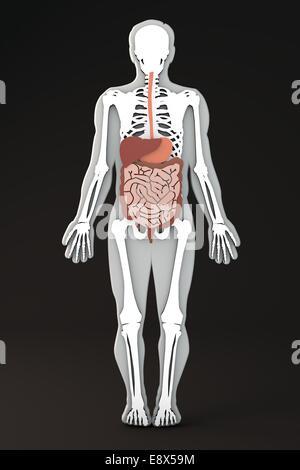 Abschnitt des menschlichen Körpers interne Apparate, Body-Form ...