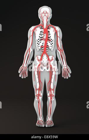 Menschlichen Körper Form Abschnitt, das Herz-Kreislauf-System ...
