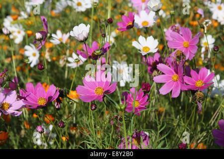 Violett, rosa, rot, Kosmos-Blumen im Garten mit blauem Himmel und ...