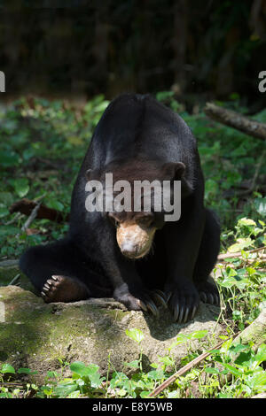 Malayischen Sonne Bär (Helarctos Malayanus), der Zoo von Singapur - Stockfoto
