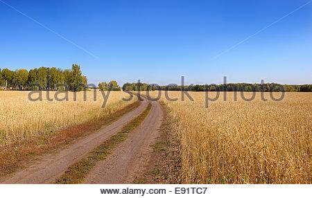 Unbefestigte Straße führt durch ein Weizenfeld - Stockfoto
