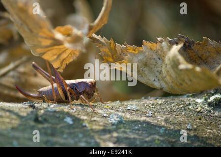 Heuschrecke in Forrest-Natur - Stockfoto