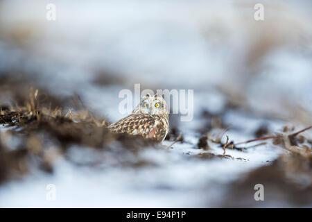 Short-eared Eule versteckt niedrig am Boden vor Raubtieren - Stockfoto