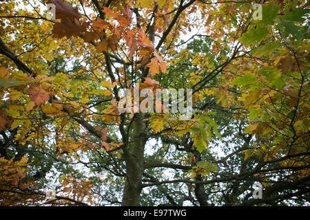 Belfast Irland 20. Oktober 2014. Mit dem Herbst angebrochen lässt auf dem Gelände des Malone House, Belfast Farbe - Stockfoto
