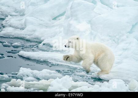 Niedliche Polar Bear Cub, Ursus Maritimus, springen von einer Eisscholle auf dem Packeis Olgastretet, Spitzbergen, - Stockfoto