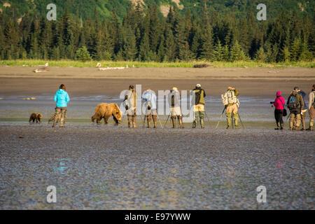 Grizzly Bear säen mit zwei Frühling Cubs, Ursus Arctos, vorbei an scheinbar blind Fotografen, Cook Inlet, Alaska, - Stockfoto