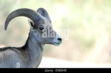 Wüste Bighorn Schafe in Boulder City, Nevada Stockfoto, Bild ...