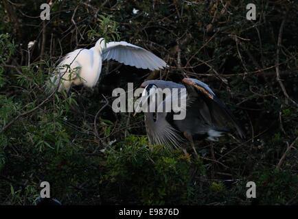 Silberreiher Fliegen sitzen in der Vegetation von gatorland in der Nähe von Orlando, es passende Federn. Florida, - Stockfoto