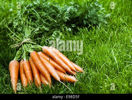 Reihe von erntefrischem Bio orange Karotten mit ihren Blättern intakt liegend auf dem üppigen grünen Rasen mit Exemplar - Stockfoto