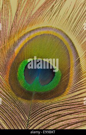 Still-Leben Nahaufnahme des Auges eine Pfauenfeder - Stockfoto
