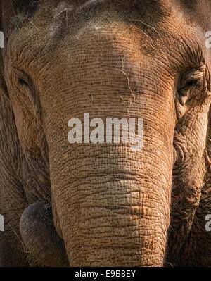 Elefanten im Zoo von Belfast - Stockfoto