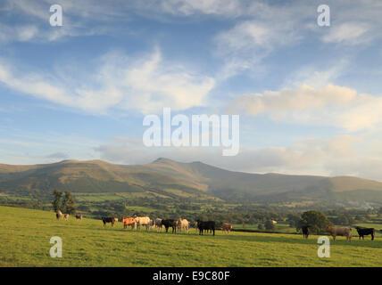 Anfang Herbst Himmel und weiches dunstigen Licht über die Brecon Beacons-Berge, eine pastorale Szene von Weidevieh - Stockfoto
