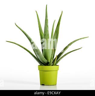 Nahaufnahme der Aloe Vera Pflanze Stockfoto
