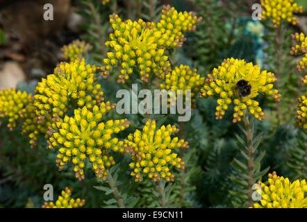 sedum reflexum blaue kissen ein steingarten pflanze mit gelben bl ten juni stockfoto bild. Black Bedroom Furniture Sets. Home Design Ideas