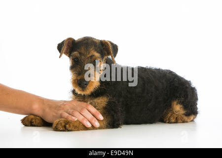 Hände halten auf Airedale Terrier Welpen - Stockfoto