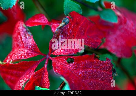 Nahaufnahme von roten Blätter, wildem Wein, Parthenocissus quinquefolia - Stockfoto