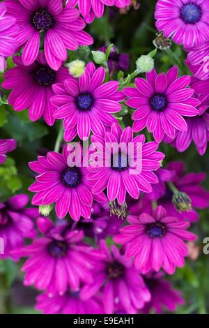 Magenta pink Osteospermum Blumen im Garten. Kap-Gänseblümchen. Herbers. - Stockfoto
