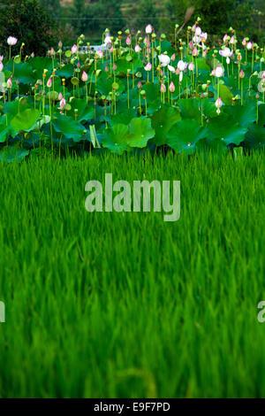 Jiangxi Wuyuan Lotus und Lotus - Stockfoto