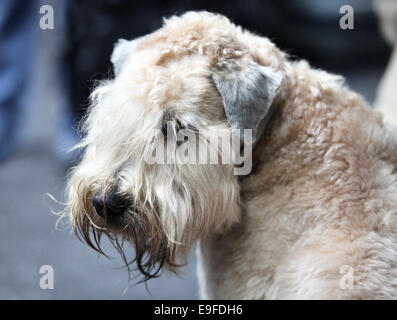 Airedale terrier - Stockfoto