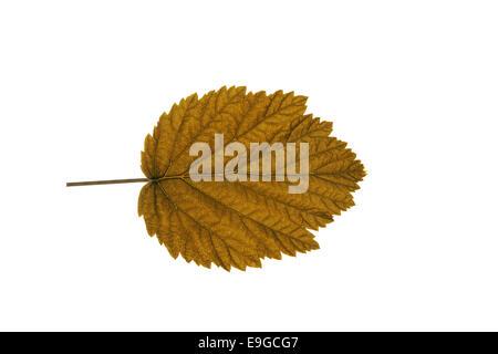 Herbst Blatt auf weißem Hintergrund - Stockfoto