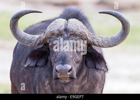 Nahaufnahme eines gehörnten afrikanischer Büffel oder Kaffernbüffel (Syncerus Caffer) Chobe Nationalpark, Botswana - Stockfoto