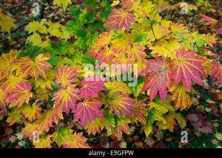 Acer Japonicum Vitifolium. Downy japanischer Ahorn oder Vollmond Ahorn Blätter Farbwechsel im Herbst - Stockfoto
