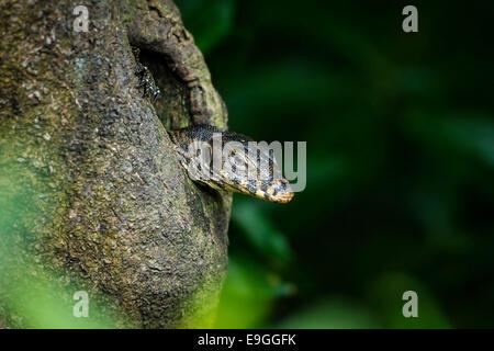 Malaiische Wasser-Waran (Varanus Salvator) ergibt sich aus einem Loch in einem Mangroven-Baum - Stockfoto