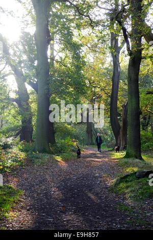 Sherwood Forest, Nottinghamshire, UK. 28. Oktober 2014. Wanderer, genießen die Sonne am frühen Morgen unter den - Stockfoto