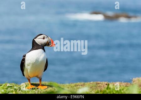 Papageitaucher (Fratercula Arctica) Stand am Anfang von Cliff Top Kolonie - Stockfoto