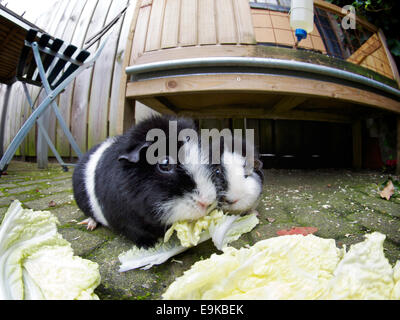 zwei wei e meerschweinchen in einem k fig auf einer messe stockfoto bild 11656435 alamy. Black Bedroom Furniture Sets. Home Design Ideas