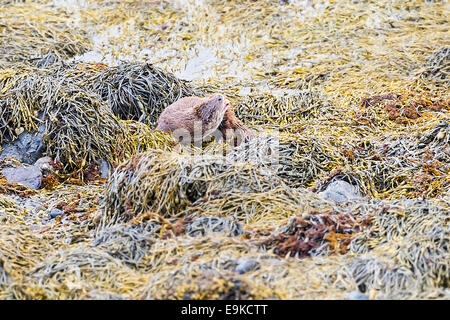 Europäischen Fischotter ruht auf Algen an der Küste ein Meer-See - Stockfoto