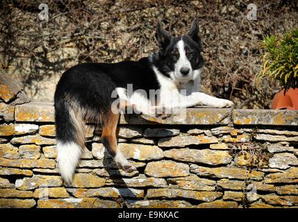 Ein Hund ruht auf einer Steinmauer Cotswold in das Dorf Southtrop, Gloucestershire UK - Stockfoto