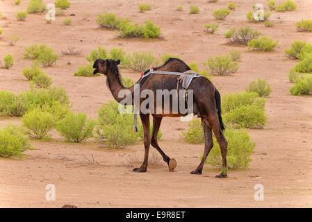 Kamel in der Wüste Liwa Oase, Vereinigte Arabische Emirate - Stockfoto