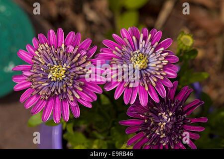 Zwei spektakuläre brillant Purpur / Magenta gefüllte Blüten von Cape Daisy Osteospermum ecklonis - Stockfoto