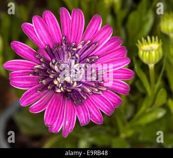 Spektakuläre brillant Purpur / Magenta gefüllte Blüte von Cape Daisy Osteospermum Ecklonis mit grünen Knospen & - Stockfoto