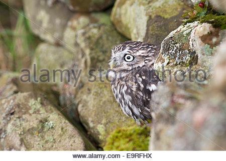 Steinkauz, Athene Noctua, in Gefangenschaft, UK - Stockfoto