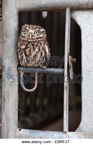 Steinkauz, Athene Noctua, gefangen, auf Bauernhof Tor Riegel, UK - Stockfoto
