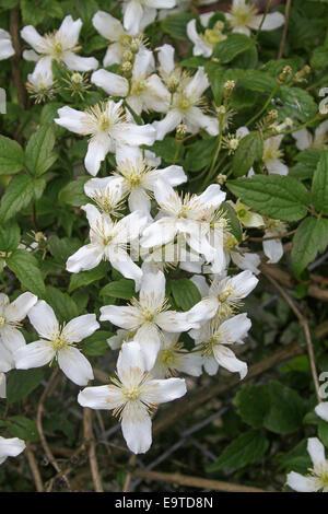 Große weiße Blüten der Clematis wachsen an einer Garage Wand ...