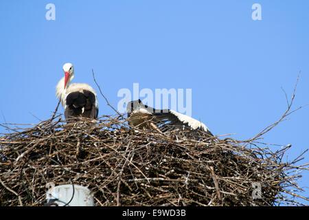 Weißstorch (Ciconia Ciconia) im nest - Stockfoto