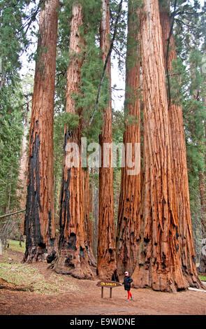 Sequoia Nationalpark Senat Gruppe von Sequoia Bäumen auf Congress Trail im Giant Forest.
