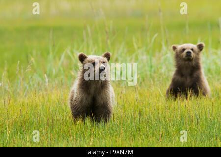 Zwei braune Bärenjungen in Segge grass bei Silver Salmon Creek, Lake Clark National Park and Preserve, Yunan Alaska - Stockfoto