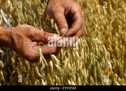 Landwirtschaft - ein Landwirt prüft Hafer für Qualität und Bereitschaft zur Ernte / Kansas, USA. - Stockfoto