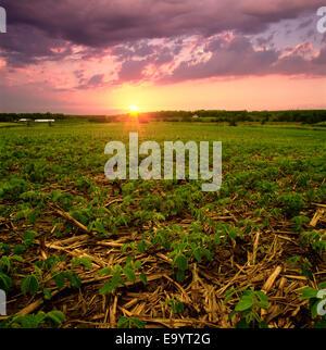 Landwirtschaft - frühe Wachstum Direktsaat Sojabohnen im Getreide Mais Stoppeln bei Sonnenuntergang / Ontario, Kanada. - Stockfoto