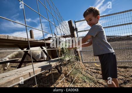 Junge, die Verfütterung von Heu an Ziegen im Stift, County Park, Los Angeles, Kalifornien, USA - Stockfoto