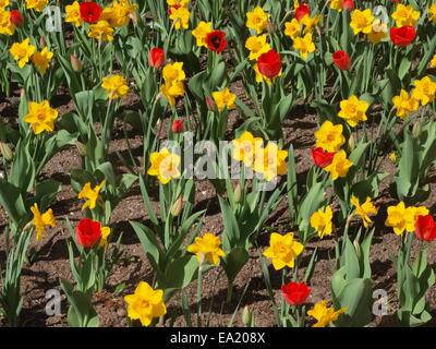 Blumenbeet mit Tulpen und Narzissen - Stockfoto