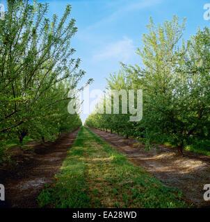 Ed, jung, landwirtschaftliche, Landwirtschaft, Mandel - Stockfoto