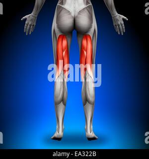 Oberschenkel - weibliche Anatomie Muskeln - Stockfoto
