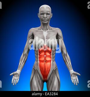 ABS - weibliche Anatomie Muskeln - Stockfoto