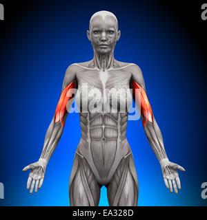 Bizeps - weibliche Anatomie Muskeln - Stockfoto