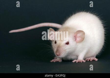 Ratte - Stockfoto